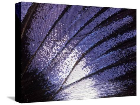 Blue Diadem (Hypolimnas Salmacis) Butterfly Wing Detail, Native to Africa-Albert Lleal/Minden Pictures-Stretched Canvas Print
