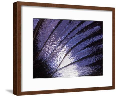 Blue Diadem (Hypolimnas Salmacis) Butterfly Wing Detail, Native to Africa-Albert Lleal/Minden Pictures-Framed Art Print