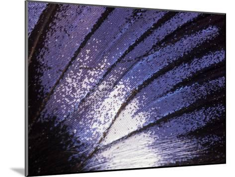 Blue Diadem (Hypolimnas Salmacis) Butterfly Wing Detail, Native to Africa-Albert Lleal/Minden Pictures-Mounted Photographic Print