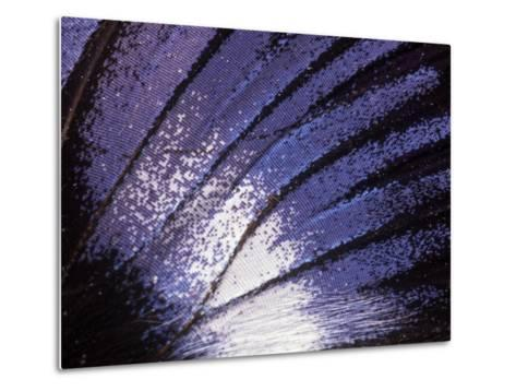 Blue Diadem (Hypolimnas Salmacis) Butterfly Wing Detail, Native to Africa-Albert Lleal/Minden Pictures-Metal Print