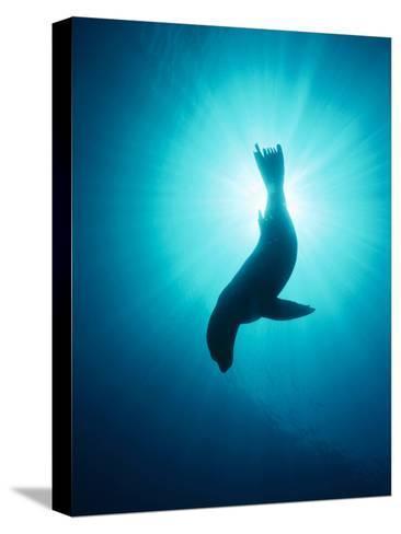 California Sea Lion (Zalophus Californianus) Underwater, Channel Islands National Park, California-Flip Nicklin/Minden Pictures-Stretched Canvas Print