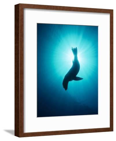 California Sea Lion (Zalophus Californianus) Underwater, Channel Islands National Park, California-Flip Nicklin/Minden Pictures-Framed Art Print