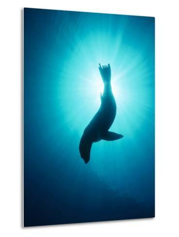 California Sea Lion (Zalophus Californianus) Underwater, Channel Islands National Park, California-Flip Nicklin/Minden Pictures-Metal Print
