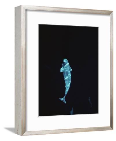 Beluga (Delphinapterus Leucas) Whale at 200 Feet Underwater, Lancaster Sound, Nunavut, Canada-Flip Nicklin/Minden Pictures-Framed Art Print