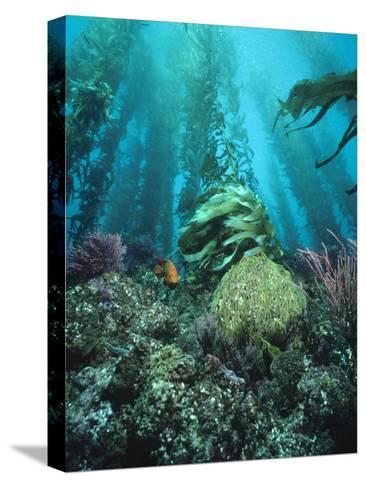 Giant Kelp (Macrocystis Pyrifera) Forest with Garibaldi, Channel Islands National Park, California-Flip Nicklin/Minden Pictures-Stretched Canvas Print