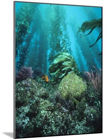 Giant Kelp (Macrocystis Pyrifera) Forest with Garibaldi, Channel Islands National Park, California-Flip Nicklin/Minden Pictures-Mounted Photographic Print