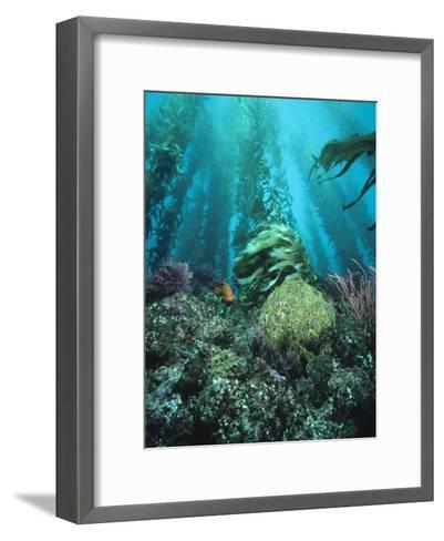 Giant Kelp (Macrocystis Pyrifera) Forest with Garibaldi, Channel Islands National Park, California-Flip Nicklin/Minden Pictures-Framed Art Print