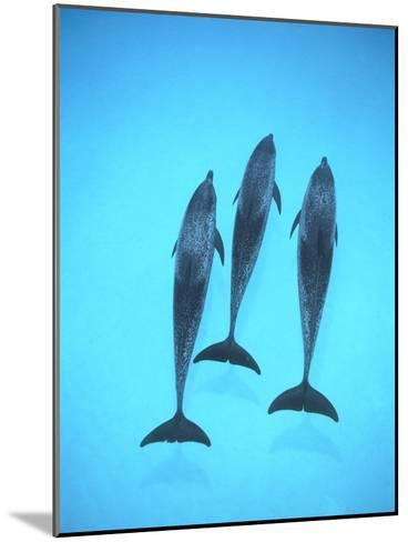 Atlantic Spotted Dolphin (Stenella Frontalis) Three Swimming Underwater, Bahamas-Flip Nicklin/Minden Pictures-Mounted Photographic Print