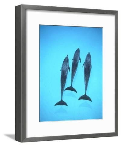 Atlantic Spotted Dolphin (Stenella Frontalis) Three Swimming Underwater, Bahamas-Flip Nicklin/Minden Pictures-Framed Art Print