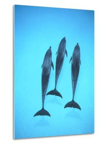 Atlantic Spotted Dolphin (Stenella Frontalis) Three Swimming Underwater, Bahamas-Flip Nicklin/Minden Pictures-Metal Print