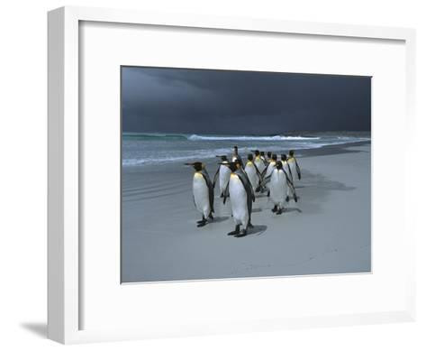 King Penguin (Aptenodytes Patagonicus) Group Walking Along Beach, Falkland Islands-Hiroya Minakuchi/Minden Pictures-Framed Art Print