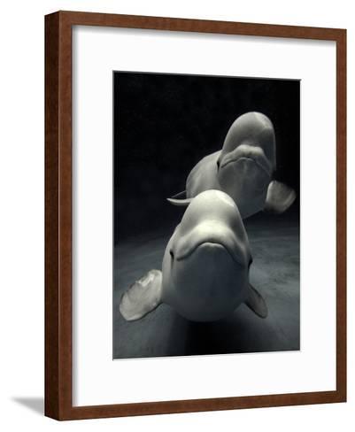 Beluga (Delphinapterus Leucas) Whale Pair Swimming Together, Shimane Aquarium, Japan-Hiroya Minakuchi/Minden Pictures-Framed Art Print