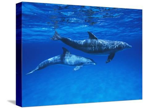 Bottlenose Dolphin (Tursiops Truncatus) Mother and Calf, Gulf of Mexico, Belize-Hiroya Minakuchi/Minden Pictures-Stretched Canvas Print