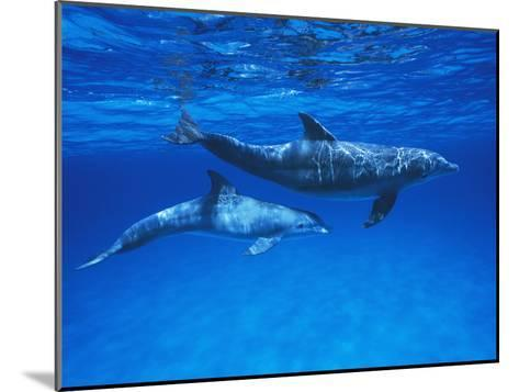 Bottlenose Dolphin (Tursiops Truncatus) Mother and Calf, Gulf of Mexico, Belize-Hiroya Minakuchi/Minden Pictures-Mounted Photographic Print