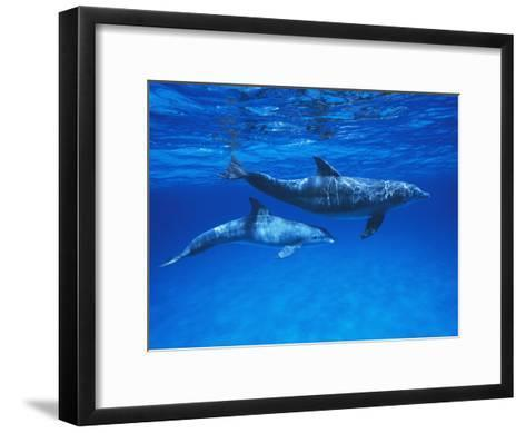 Bottlenose Dolphin (Tursiops Truncatus) Mother and Calf, Gulf of Mexico, Belize-Hiroya Minakuchi/Minden Pictures-Framed Art Print