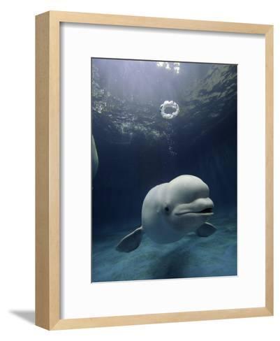 Beluga (Delphinapterus Leucas) Whale Blowing a Toroidal Bubble Ring, Shimane Aquarium, Japan-Hiroya Minakuchi/Minden Pictures-Framed Art Print
