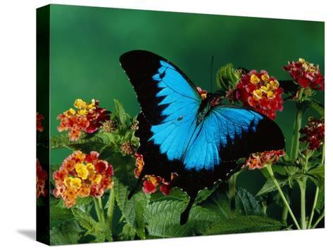 Ulysses Butterfly (Papilio Ulysses) on Flowers, Kuranda State Forest, Queensland, Australia-Michael and Patricia Fogden/Minden Pictures-Stretched Canvas Print