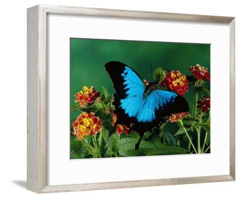 Ulysses Butterfly (Papilio Ulysses) on Flowers, Kuranda State Forest, Queensland, Australia-Michael and Patricia Fogden/Minden Pictures-Framed Art Print