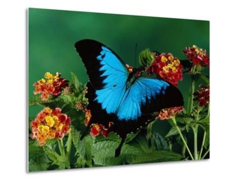 Ulysses Butterfly (Papilio Ulysses) on Flowers, Kuranda State Forest, Queensland, Australia-Michael and Patricia Fogden/Minden Pictures-Metal Print