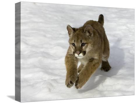 Mountain Lion (Felis Concolor) Cub in the Snow, Kalispell, Montana-Matthias Breiter/Minden Pictures-Stretched Canvas Print