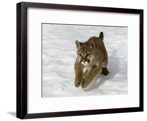 Mountain Lion (Felis Concolor) Cub in the Snow, Kalispell, Montana-Matthias Breiter/Minden Pictures-Framed Art Print
