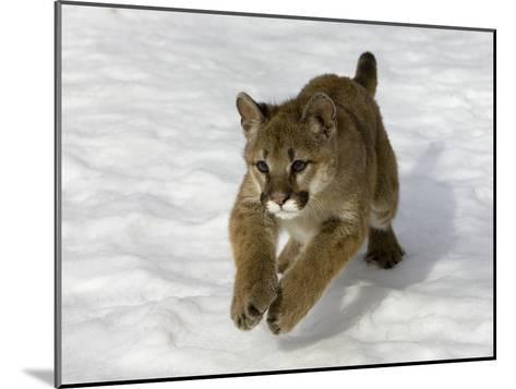 Mountain Lion (Felis Concolor) Cub in the Snow, Kalispell, Montana-Matthias Breiter/Minden Pictures-Mounted Photographic Print