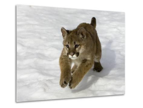 Mountain Lion (Felis Concolor) Cub in the Snow, Kalispell, Montana-Matthias Breiter/Minden Pictures-Metal Print