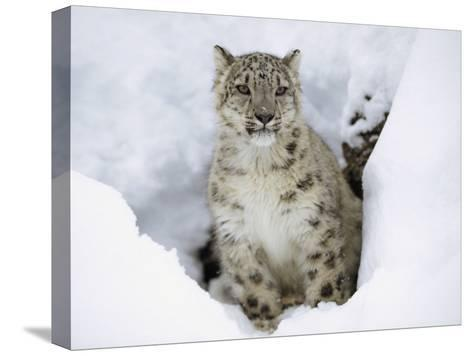 Snow Leopard (Uncia Uncia) Adult Portrait in Snow, Endangered, Native to Asia-Tim Fitzharris/Minden Pictures-Stretched Canvas Print
