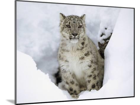 Snow Leopard (Uncia Uncia) Adult Portrait in Snow, Endangered, Native to Asia-Tim Fitzharris/Minden Pictures-Mounted Photographic Print