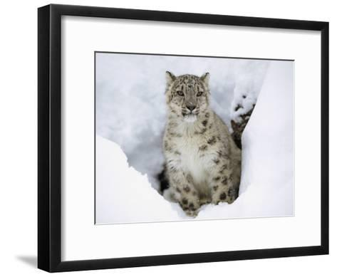 Snow Leopard (Uncia Uncia) Adult Portrait in Snow, Endangered, Native to Asia-Tim Fitzharris/Minden Pictures-Framed Art Print