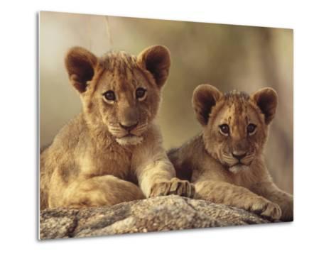 African Lion (Panthera Leo) Cubs Resting on a Rock, Hwange National Park, Zimbabwe, Africa-Tim Fitzharris/Minden Pictures-Metal Print