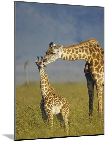 Masai Giraffe (Giraffa Camelopardalis Tippelskirchi) Mother and Young, Kenya-Tim Fitzharris/Minden Pictures-Mounted Photographic Print