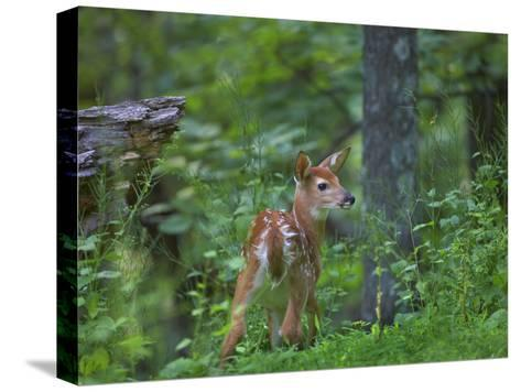 White-Tailed Deer (Odocoileus Virginianus) Fawn with Spots in Forest, North America-Tim Fitzharris/Minden Pictures-Stretched Canvas Print