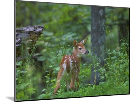 White-Tailed Deer (Odocoileus Virginianus) Fawn with Spots in Forest, North America-Tim Fitzharris/Minden Pictures-Mounted Photographic Print