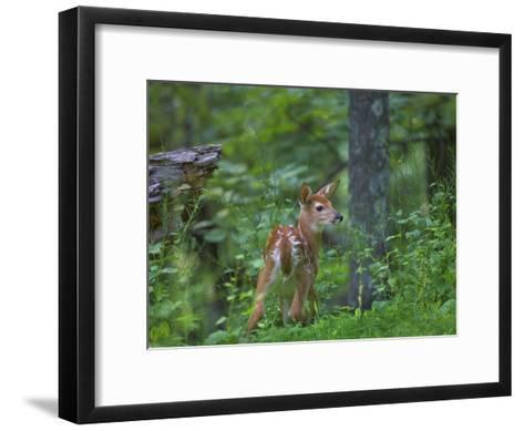 White-Tailed Deer (Odocoileus Virginianus) Fawn with Spots in Forest, North America-Tim Fitzharris/Minden Pictures-Framed Art Print