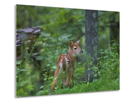 White-Tailed Deer (Odocoileus Virginianus) Fawn with Spots in Forest, North America-Tim Fitzharris/Minden Pictures-Metal Print