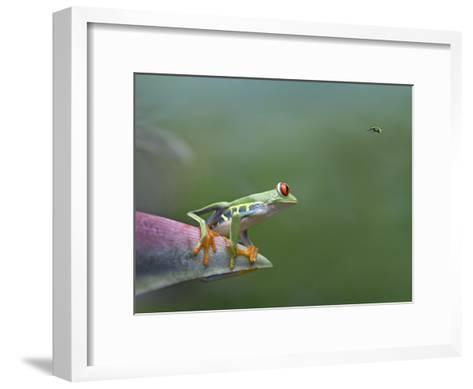 Red-Eyed Tree Frog (Agalychnis Callidryas) Eyeing Bee Fly (Bombyliidae) Costa Rica-Tim Fitzharris/Minden Pictures-Framed Art Print