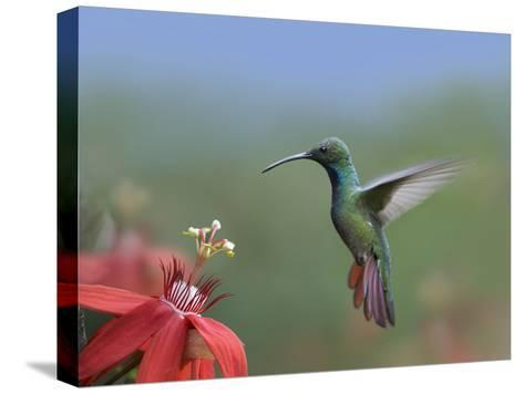 Green-Breasted Mango (Anthracothorax Prevostii) Hummingbird Male Foraging, Costa Rica-Tim Fitzharris/Minden Pictures-Stretched Canvas Print