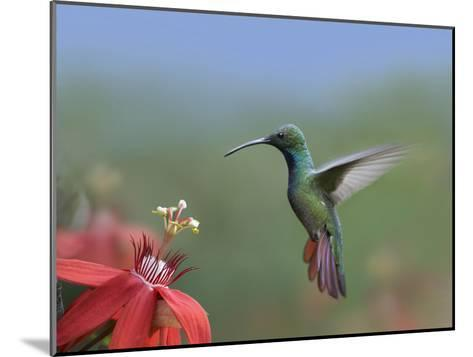 Green-Breasted Mango (Anthracothorax Prevostii) Hummingbird Male Foraging, Costa Rica-Tim Fitzharris/Minden Pictures-Mounted Photographic Print