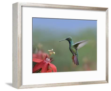Green-Breasted Mango (Anthracothorax Prevostii) Hummingbird Male Foraging, Costa Rica-Tim Fitzharris/Minden Pictures-Framed Art Print