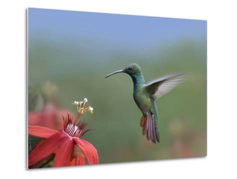 Green-Breasted Mango (Anthracothorax Prevostii) Hummingbird Male Foraging, Costa Rica-Tim Fitzharris/Minden Pictures-Metal Print