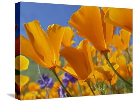 California Poppy (Eschscholzia Californica) Flowers, Antelope Valley, California-Tim Fitzharris/Minden Pictures-Stretched Canvas Print