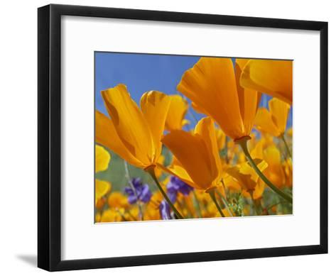 California Poppy (Eschscholzia Californica) Flowers, Antelope Valley, California-Tim Fitzharris/Minden Pictures-Framed Art Print