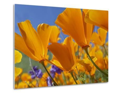 California Poppy (Eschscholzia Californica) Flowers, Antelope Valley, California-Tim Fitzharris/Minden Pictures-Metal Print