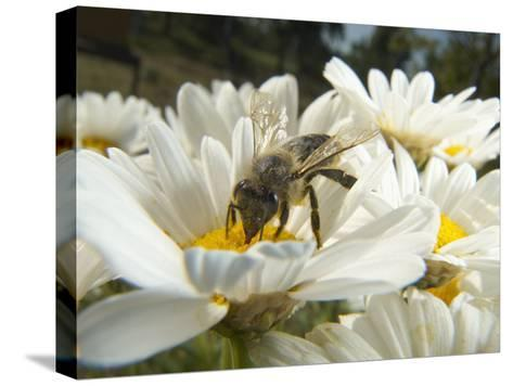 Honey Bee (ApisMellifera), Bee Station, Bavarian Julius-Maximilians-University of Wurzburg, Germany-Heidi & Hans-Juergen Koch/Minden Pictures-Stretched Canvas Print