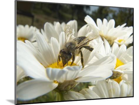Honey Bee (ApisMellifera), Bee Station, Bavarian Julius-Maximilians-University of Wurzburg, Germany-Heidi & Hans-Juergen Koch/Minden Pictures-Mounted Photographic Print