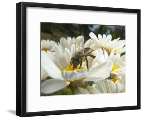 Honey Bee (ApisMellifera), Bee Station, Bavarian Julius-Maximilians-University of Wurzburg, Germany-Heidi & Hans-Juergen Koch/Minden Pictures-Framed Art Print