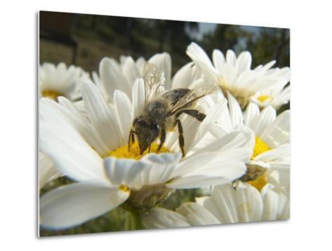 Honey Bee (ApisMellifera), Bee Station, Bavarian Julius-Maximilians-University of Wurzburg, Germany-Heidi & Hans-Juergen Koch/Minden Pictures-Metal Print