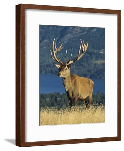 Red Deer (Cervus Elaphus) Stag on Hillside, South Island, New Zealand-Colin Monteath/Minden Pictures-Framed Art Print
