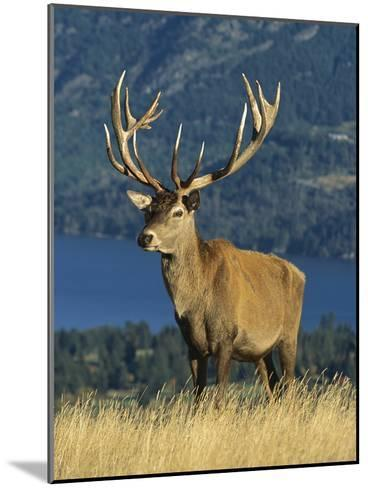 Red Deer (Cervus Elaphus) Stag on Hillside, South Island, New Zealand-Colin Monteath/Minden Pictures-Mounted Photographic Print